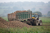 Contractor tipping sugar beet on a heap <br /> Picture Tim Scrivener 07850 303986<br /> &hellip;.covering agriculture in the UK&hellip;.