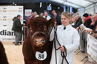 English Premier Show & Sale March 2019 <br /> Newark Livestock Market. <br /> Lincoln Red Show & Sale<br /> ©Tim Scrivener Photographer 07850 303986<br />      ....Covering Agriculture In The UK....