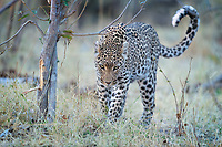 Adult female Leopard (Panthera pardus) cautiously checks us out. She left her cub, about a year old, to fend for herself while she hunted.  At first a bit shy of the strange humans in the vehicles, she quickly got comfortable with us and ignored us.
