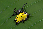 Spinybacked orbweaver spider, yellow colour morph, Gasteracantha cancriformis, Costa Rica, tropical jungle, on leaf.Central America....