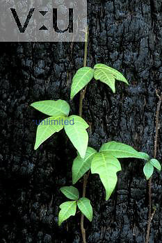 Poison Ivy ,Toxicodendron radicans, growing on large tree trunk. Leaves of three let it be.
