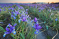 Field of blue iris, Skagit Valley, Mount Vernon, Washington