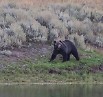 A grizzly bear walks along the river in Yellowstone.
