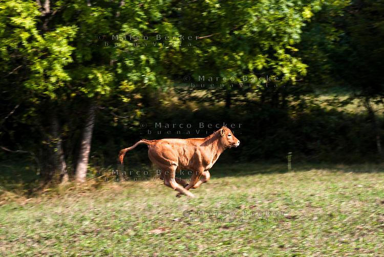 Pozzallo frazione di Romagnese (Pavia). Cooperativa Agricola Canedo: allevamento semibrado di bovini da carne. Vitello in corsa --- Pozzallo Romagnese (Pavia). Canedo Agricultural Cooperative: semi-wild breeding of beef cattle. Calf running
