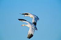 Snow Geese (Chen caerulescens).  Western U.S.