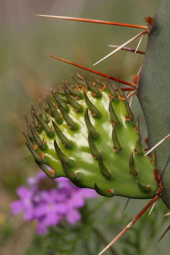 "New growth of the Prickly Pear Cacti, with Verbena Wildflower background. The fruits of most prickly pears are edible and sold in stores under the name ""tuna."" Prickly pear branches (the pads seen here) are also cooked and eaten as a vegetable."