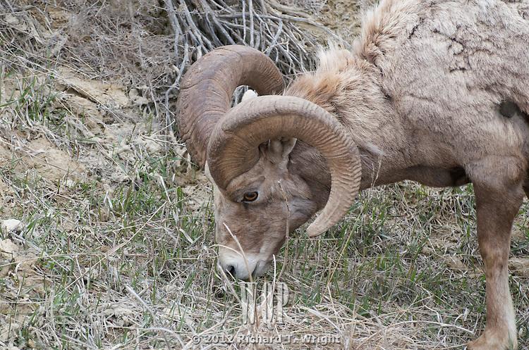 Jasper Wildlife  Rocky Mountain bighorn sheep