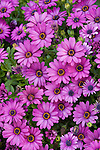 Coronado, San Diego, California; a bed of pink and purple African Daisy flowers in the spring