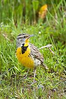 Western Meadowlark, Oregon