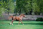 Open range horse runs in spring meadow, Methow Valley, Washington, USA