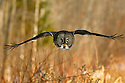 00830-048.15 Great Grey Owl in flight on silent wings with forest in background.  Predator, raptor, bird of prey.  H9F1