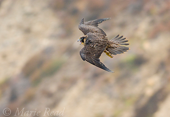 Peregrine Falcon (Falco peregrinus), juvenile plumage female, calling in flight, California, USA