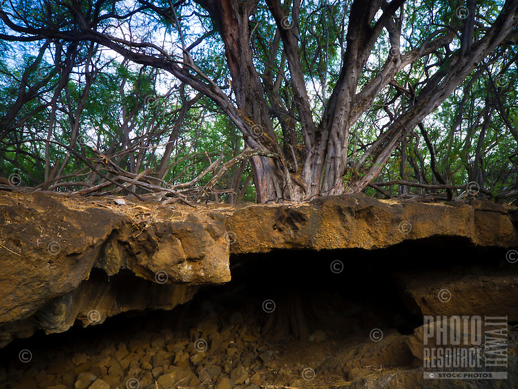 A large kiawe tree makes its home on the upper shelf of a lava tube in a forest near Kiholo Bay, Big Island.