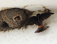 Cliff swallow at nest with baby