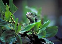 Green Iguana in Panama rainforest. Panama.