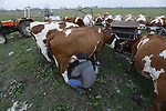 Foto: VidiPhoto<br /> <br /> OCHTEN &ndash; De laatste loodjes voor melkveehouder Cees Buis uit Ochten, dinsdagmiddag. Vrijdag gaan zijn koeien naar stal, maar tot eind deze week moet hij al koukleumend zijn 23 dieren nog buiten melken in de uiterwaarden langs de Waal. Het gras groeit niet meer door de lagere temperaturen en dan is het tijd om het vee naar de warme stal te halen. Zelden heeft Buis zoveel melk met bovendien een hoog eitwitgehalte geproduceerd als deze herfst. Hij wijt dat aan een enorme groeispurt van het gras na de droge zomer. Daardoor is ook de wintervoorraad voor zijn (jong)vee weer op orde. Normaal is Buijs vrijwel de laatste Betuwse boer die zijn melkkoeien naar binnen haalt. Door het tot vorige week groeizame weer en de nog steeds begaanbare weilanden, halen de meeste boeren pas deze week hun vee naar stal. Er wordt zelfs nog gras gemaaid en ingekuild.