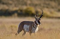 Pronghorn Antelope (Antiloapra americana) buck.  Western U.S., June.