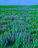 Nebraska Lupine on a Summer Afternoon, Oglala National Grassland, Nebraska