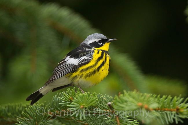 Adult male Magnolia Warbler (Dendroica magnolia) in breeding plumage. Tompkins County, New York. May.