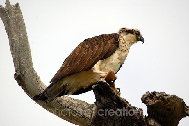 Osprey-Pandion haliatus