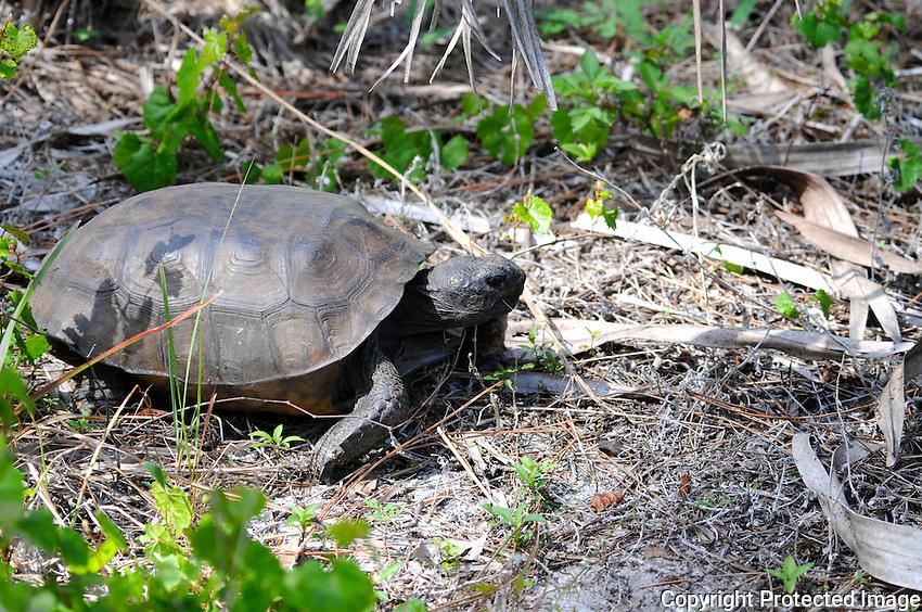 Gopher Tortoise photographed at Okeeheelee Park, West Palm Beach, Florida.