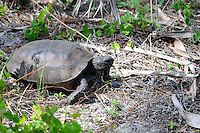 Gopher Tortoise photographed at Okeeheelee Park, West Palm Beach, Florida.