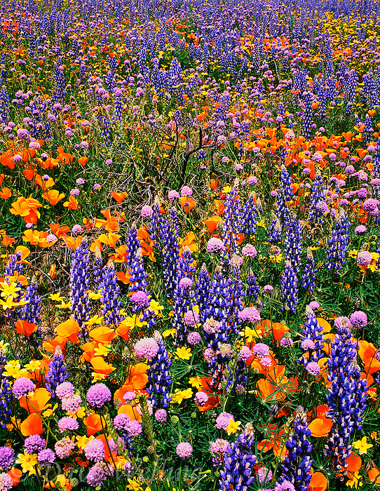 797050004 wild california poppies eschscholtzia californicus bentham lupine lupinus benthami and assorted wildflowers along the freeway near gorman california