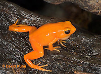 1102-07mm  Mantella aurantiaca - Golden Mantilla - © David Kuhn/Dwight Kuhn Photography