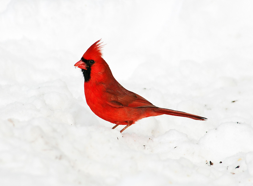 A cardinal forages for food in the snow