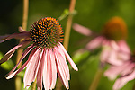purple coneflower (echinacea) in the University of Washington's medicinal herb garden