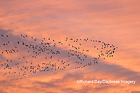 00754-02518 Snow Geese (Chen caerulescens) in flight at sunrise Marion Co. IL