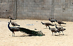 A peacock walks with his peahens at a local breeding farm in Khan Younis in the southern Gaza Strip, May 5, 2015. Male peacocks display and shake its tail feather to attract attention to female peahens during courtship. Photo by Abed Rahim Khatib