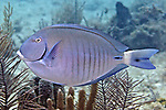 Acanthurus chirurgus, Doctorfish, Florida Keys