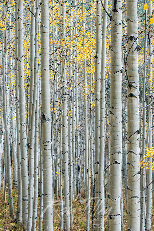 US, CO, Gunnison NF, Aspen Trunks with Autumn Color