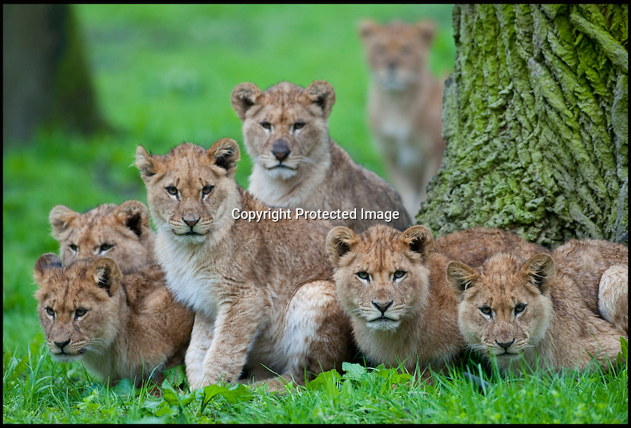 """BNPS.co.uk (01202 558833).Pic: IanTurner/BNPS..The cubs shelter beneath an oak tree as the showers roll in...It's every parents' nightmare; trying to keep the youngsters entertained on a rainy day...And for the lionesses at Longleat it looks like summer still seems a long way off...The Wiltshire attraction, famed for its lions, is currently enjoying a big cat baby boom with no fewer than 11 cubs born in the past six months...All the prides lionesses help care for the news cubs, but with eleven to look after a bit of warmth and sunshine would make everyone's life a little easier...Longleat's Ian Turner said: """"It's been a long winter and I think we're all - lions and keepers alike - looking forward to the sun on our backs again soon.""""..Forecasters are however predicting a long overdue upturn for the Bank holiday weekend."""