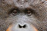 Dominant male orangutan, portrait, close-up, (Pongo pygmaeus) endangered species due to loss of habitat, spread of oil palm plantations, Tanjung Puting National Park, Borneo, East Kalimantan,