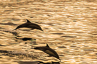 long-beaked common dolphin, Delphinus capensis, pair, leaping, jumping, sunset, Isla Danzante, Baja California Sur, Mexico, Pacific Ocean