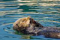 sea otter (southern), Enhydra lutris nereis, (horizontal image), otter is grooming, licking paws with tongue, side view with tongue sticking out and white furry face, floating in beautifully colored water from reflections of boats in Monterey Bay National Marine Sanctuary harbor, California