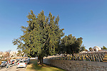T-076 Laurel tree on Mount Scopus
