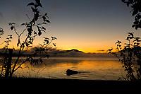 Brown bear swims in Naknek lake just prior to sunrise, Katmai National Park, Alaska.