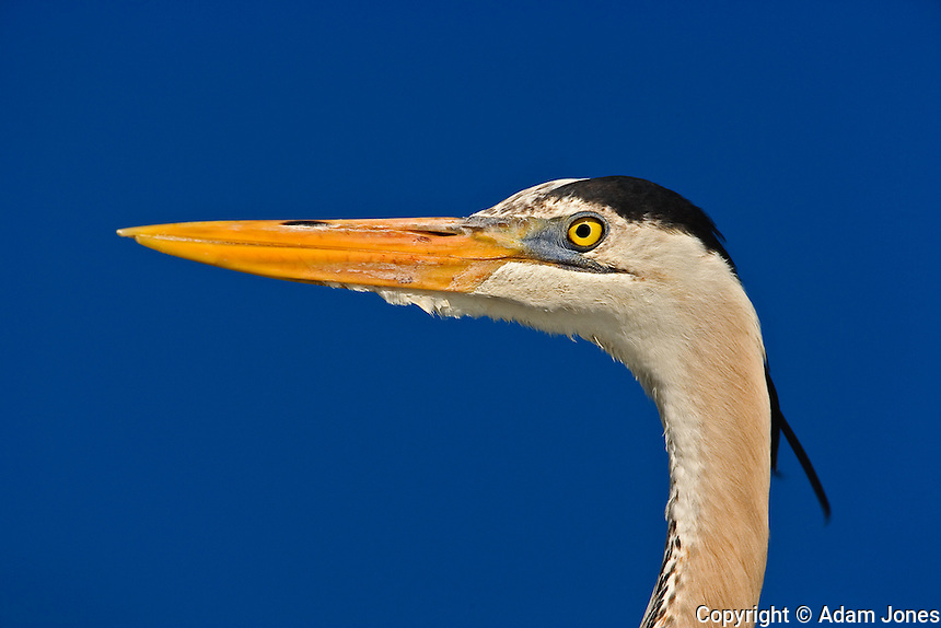 Great Blue Heron, Ardea herodias, Corkscrew Swamp Sanctuary, near Naples, Florida