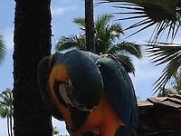 Parrot at Westin Maui Resort, Maui, Hawaii, US