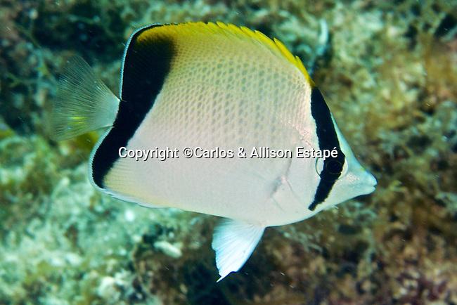 Chaetodon sedentarius, Reef butterflyfish, Florida Keys