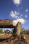 Israel, Negev desert, vandalised Eucalyptus trees in Dudaim Forest