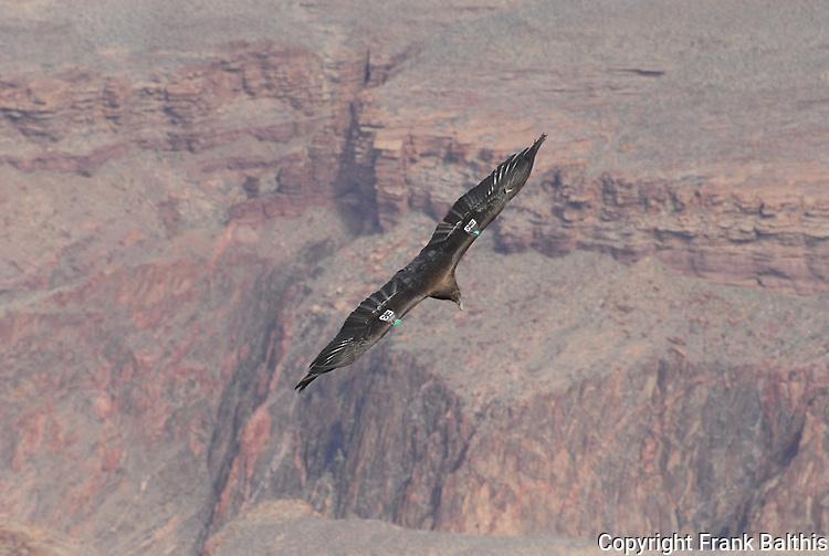 Condor near South Kaibab Trail