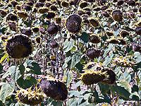 Fields of Sunflowers France..©shoutpictures.com..john@shoutpictures.com