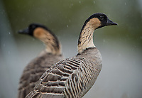 Nene (Branta sandvicensis)-- The endangered Hawaiian Goose, Kauai. Photo by James R. Evans