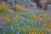 Sierra National Forest, CA<br /> Detail of lupine and California poppies at the base of a rock ourcrop along the Moss Creek Trail, Merced River Canyon