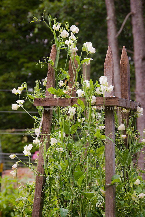 Lathyrus odoratus sweet peas on wooden trellis vine