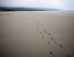 Foot step prints in wet sand on a cloudy overcast day at Traigh Eais beach, Barra, Outer Hebrides, Scotland, UK